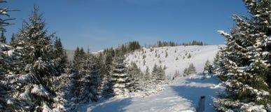 2棵喀尔巴阡山脉的冷杉 免版税库存图片