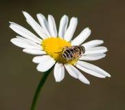 2棵春黄菊寄生虫 免版税库存图片