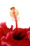 2棵木槿雄芯花蕊 库存照片