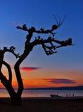 2棵杉木日落结构树 免版税图库摄影