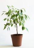 2棵榕属花盆结构树 库存照片