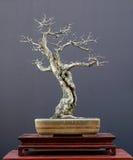 2棵盆景结构树 免版税库存图片