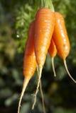 2棵红萝卜 免版税库存照片
