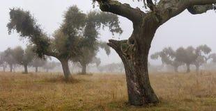 2棵薄雾橡木 免版税库存照片