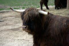 2母牛高地居民苏格兰人 免版税库存图片