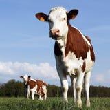 2母牛 库存图片