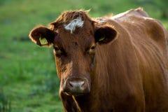 2母牛 免版税库存照片