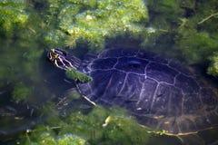 2水生淡水乌龟 图库摄影