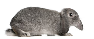2法语砍月穴兔兔子 免版税库存图片