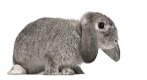 2法语砍月穴兔兔子 免版税库存照片