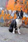 2波士顿街道画狗 免版税库存照片