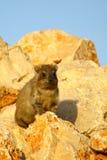 2海角非洲蹄兔蹄兔属岩石 免版税库存照片