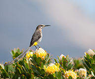 2海角sugarbird 免版税库存图片