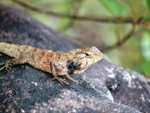 2激昂的蜥蜴石头越南 免版税库存图片