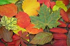 2片五颜六色的秋天叶子 免版税图库摄影