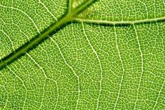 2片叶子静脉 免版税图库摄影
