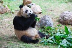 2片竹吃叶子老熊猫 库存照片