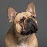 2牛头犬接近的法国老年 免版税图库摄影