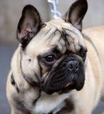 2牛头犬法国好 免版税库存照片