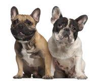 2牛头犬法国老年 免版税库存照片