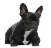 2牛头犬法语位于的老年 免版税库存照片