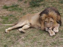 2狮子 免版税库存图片