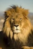 2狮子 图库摄影