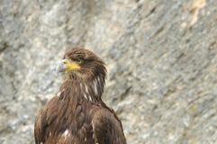 2猎鹰训练术猛禽显示 免版税图库摄影