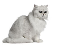 2猫我老波斯坐的岁月 免版税库存图片