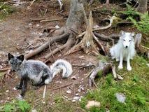 2白狐 免版税图库摄影