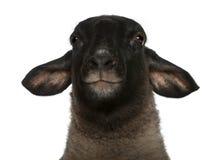 2白羊星座女性老ovis绵羊萨福克年 免版税库存照片