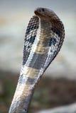 2眼镜蛇 免版税库存照片
