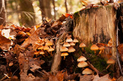 2秋天蘑菇 免版税图库摄影