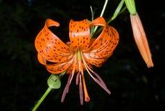 2种百合属植物百合pseudotigrinum 图库摄影