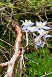 2科罗拉多columbines春天 库存图片