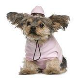 2穿戴了老狗岁月约克夏 免版税库存图片