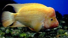2红发的丽鱼科鱼 库存照片