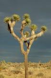 2约书亚树 库存图片