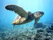 2绿浪乌龟 免版税库存照片