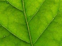 2绿色叶子 免版税库存照片