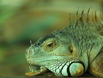 2绿色鬣鳞蜥纵向 图库摄影