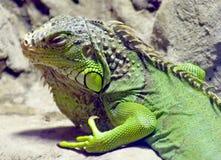 2绿色鬣鳞蜥 免版税图库摄影