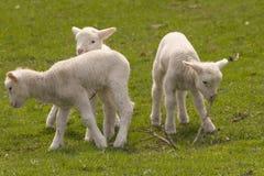2羊羔 免版税库存照片