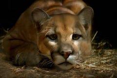 2美洲狮 免版税库存图片