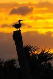 2群美洲蛇鸟日落 免版税库存图片