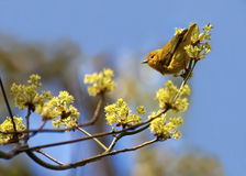 2群鸣鸟黄色 图库摄影