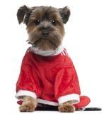 2老红色狗佩带的年约克夏 免版税库存图片
