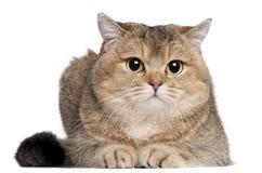 2英国猫位于的老shorthair年 免版税库存图片