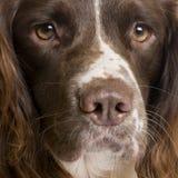 2英国西班牙猎狗蹦跳的人年 免版税库存图片