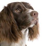 2英国西班牙猎狗蹦跳的人年 免版税图库摄影